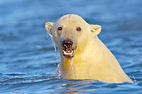 polar bear cub, Ursus maritimus, water dripping from head, Arctic National Wildlife Refuge, Alaska, Arctic Ocean, polar bear, Ursus maritimus