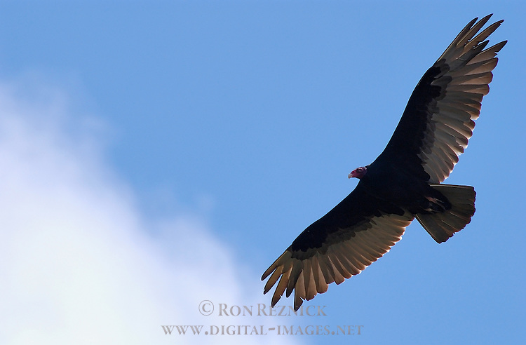 Turkey Vulture, Sepulveda Wildlife Refuge, Southern California