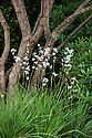 White New Zealand satin flower (Libertia grandiflora) and multi-stemmed Strawberry tree (Arbutus unedo). Homebase Teenage Cancer Trust Garden, designed by Joe Swift, RHS Chelsea Flower Show 2012.