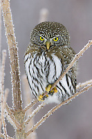 Northern Pygmy Owl perched in a frosty tree