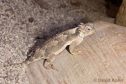 0610-1001  Desert Horned Lizard or Horny Toad (Mojave Desert), Phrynosoma platyrhinos  © David Kuhn/Dwight Kuhn Photography