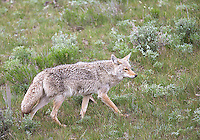 A coyote hunts for ground squirrels in the sage.