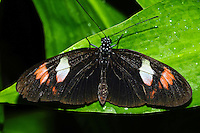 Central American Cattleheart, Parides iphidamas