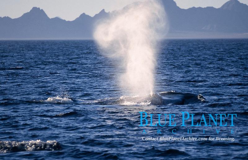 blue whale, Balaenoptera musculus, blowing, Baja California, Mexico, Sea of Cortez, Gulf of California, Pacific Ocean