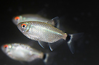 red eye tetra, family: Characidae, Moenkhausia sanctaefilomenae, freshwater, range: South America ( c )