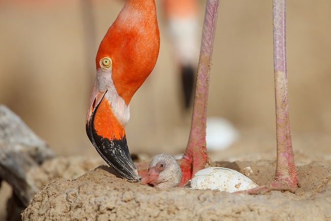 American Flamingo (Phoenicopterus ruber) with hatching chick. Yucatan, Mexico.