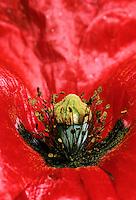 Klatsch-Mohn, Klatschmohn, Mohn, Blick in die Blüte mit Stempel und Staubbeuteln, Blütenaufbau, Blütenökologie, Papaver rhoeas, Corn Poppy, Field Poppy