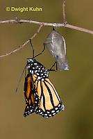 MO04-544z    Monarch emerging from chrysalis,  Danaus plexipuss