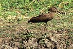 Hamerkop