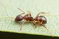 A Carpenter Ant (Camponotus subbarbatus) forages on the surface of a leaf.