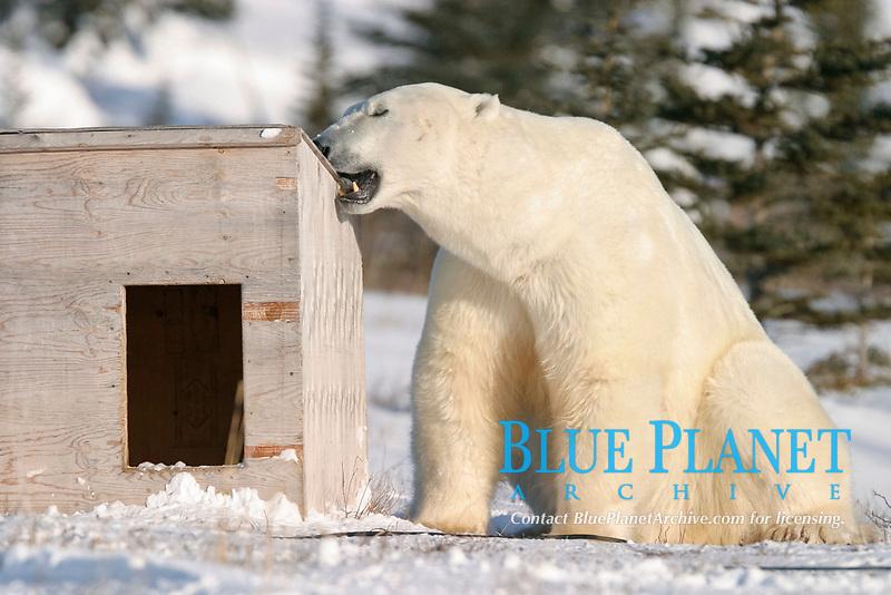 Curious adult male Polar Bear, Ursus maritimus, inspects dog house near Churchill, northern Manitoba, Hudson Bay, Canada, polar bear, Ursus maritimus