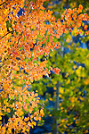 Aspen leaves in fall colors in the mountains of western montana