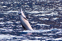Hawaiian spinner dolphin, Stenella longirostris longirostris, young, jumping vigorously to shake off remora from its eye area, Kealakekua Bay Marine Preserve, Kona Coast, Big Island, Hawaii, USA, Pacific Ocean