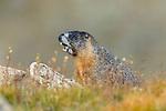 Yellowbelly Marmot Alarm Call