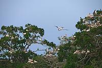 Nesting Spot-billed pelican (Pelecanus philippensis) an international endanred species. Yala National Park, Sri Lanka.