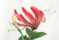 Lonicera periclymen 'Serotina' Honeysuckle white background