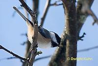 1J04-564z   Black-capped Chickadee,  Poecile atricapillus or Parus atricapillus