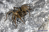 1006-0913  Wolf Spider on Rock, Hogna spp. [formerly Lycosa spp.]  © David Kuhn/Dwight Kuhn Photography