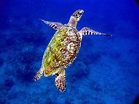 hawksbill sea turtle, Eretmochelys imbricata, Champagne Reef, Dominica, Caribbean, Atlantic