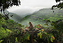 A monkey family enjoys playing in the tree in a forest landcape in Lonavela India