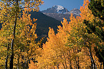 fall, color, aspen, Populus tremuloides, trees, forest, mountains, landscape, scenic, September, morning, on Bierstadt Moraine, Rocky Mountain National Park, Colorado, Rocky Mountains, USA