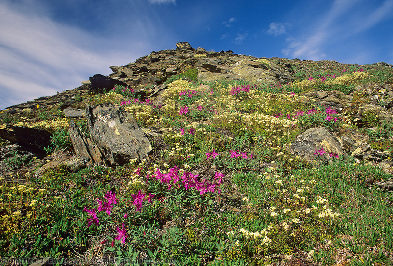 Wildflower meadow hillside, Gates of the Arctic National Park, Brooks Range, Alaska