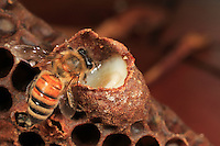 A bee inspects a royal cell filled with royal jelly. Royal jelly is essential for the development of a colony. This secretion mixed with pre-digested pollen is produced by the pharyngeal glands of the young nursing bees. It is an exceptional nutrient allowing bee larvae to grow at a pace with no equivalent in the rest of the animal kingdom.