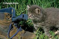 SH32-019z  Cat - kitten playing at 4 weeks