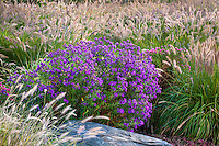 Aster novae-angliae 'Purple Dome'  autumn flowering perennial in midwest meadow garden with Fountain Grass, Pennisetum alopecuroides