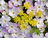 Phlox in wildflower meadow. Olympic National Par, Washington