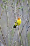 A western tanager perches on a branch in Wyoming.