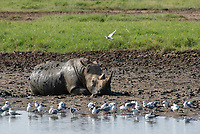 Southern White Rhinoceros, Ceratotherium simum simum, cools off by rolling in mud at the edge of a pond in Lake Nakuru National Park, Kenya. A flock of Gray-headed Gulls, Larus cirrocdphalus, stands in the shallow water.
