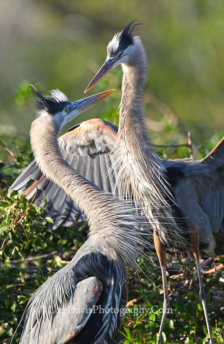 Courting great blue herons #B132