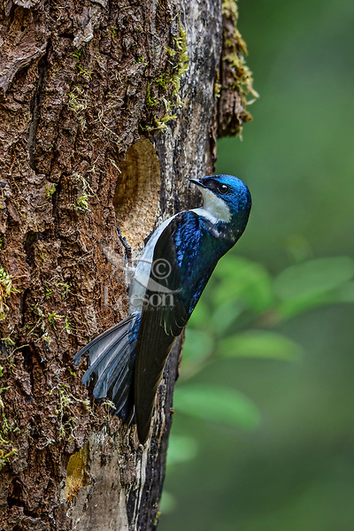 Male Tree swallow (Tachycineta bicolor) at cavity nest in dead snag.  Pacific Northwest.  May.