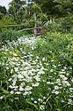 Ox-eye daisies (Leucanthemum vulgare) in the High Garden at Great Dixter, early June.