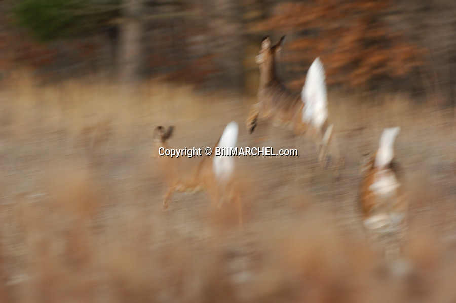00275-194.12 White-tailed Deer (DIGITAL) Three does show motion blur as they bound with tails raised across meadow.  Hunting.  H2A1