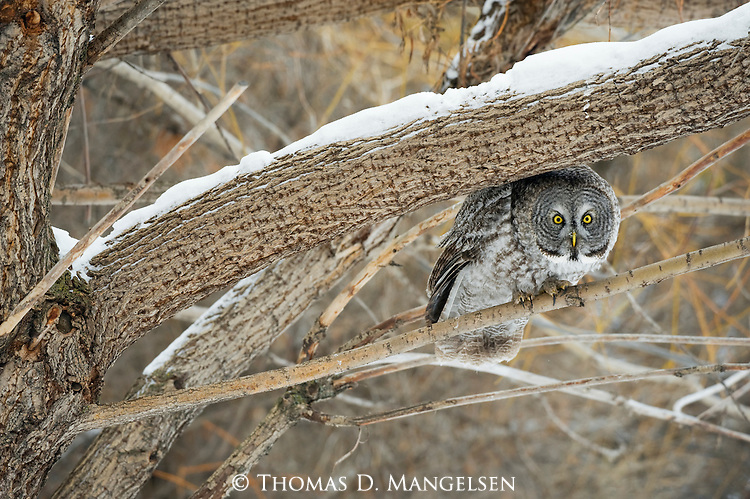 Great Gray owl crouches under a tree limb as it perches on a branch below