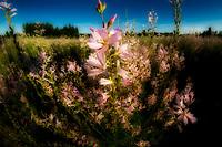 Checker Mallow (Sidalcea organa). Graham Oaks Nature Parks. Oregon