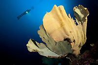 Scuba diver and Elephant Ear sponge, Ianthella basta, dive site: Kaleidoscope Point, Pelee Island, Raja Ampat, West Papua, Indonesia, Indo-Pacific Ocean