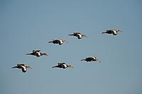 Black-bellied Whistling-Ducks in flight.
