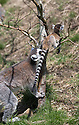 """16/05/16<br /> <br /> """"That's it. Mummy's got you""""<br /> <br /> Three baby ring-tail lemurs began climbing lessons for the first time today. The four-week-old babies, born days apart from one another, were reluctant to leave their mothers' backs to start with but after encouragement from their doting parents they were soon scaling rocks and trees in their enclosure. One of the youngsters even swung from a branch one-handed, at Peak Wildlife Park in the Staffordshire Peak District. The lesson was brief and the adorable babies soon returned to their mums for snacks and cuddles in the sunshine.<br /> All Rights Reserved F Stop Press Ltd +44 (0)1335 418365"""