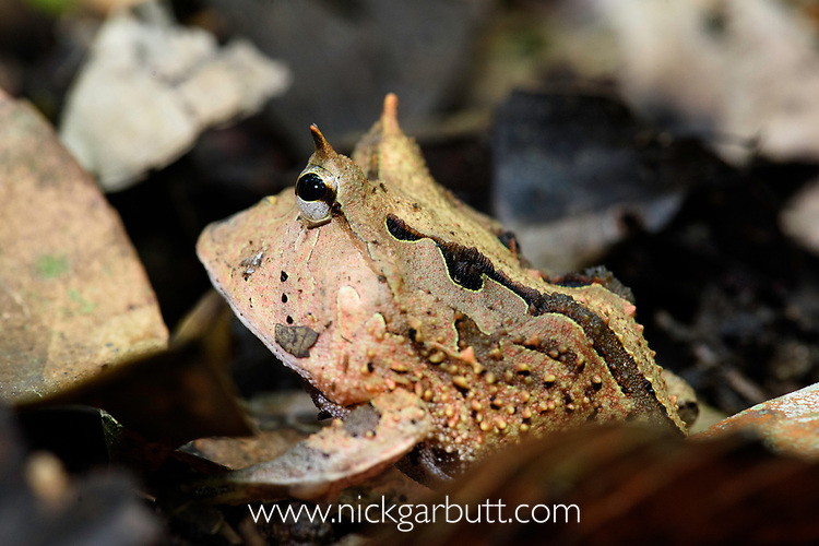 Amazon or Surinam horned frog (Ceratophrys cornuta) (Ceratophryidae) lying camouflaged in the leaf litter. Manu Biosphere Reserve, lowland Amazon rainforest, Peru.