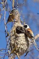 Beutelmeise, Paar, Pärchen, Männchen und Weibchen bauen am Nest, Beutelnest, Beutel-Meise, Remiz pendulinus, penduline tit