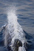 White beaked Dolphin Lagenorhynchus albirostrisbreaking surface at speed to breath Spitzbergen Arctic Norway