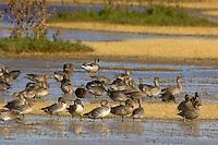 Ducks--mostly young Northern Pintails and a mallard or two--feeding in shallow pond.  Western U.S., Oct.