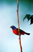 A Painted Bunting.