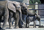 African and Indian elephants at the Woodland Park zoo lining up by gate to be fed Seattle Washington State USA