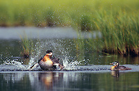 537980018 Red-necked Grebe Podiceps grisigena WILD.Adult in Pond Splashing Water with its Wings .Alaska