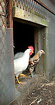 Chickens.Seeling farm, Trout Run, PA.