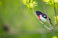 Male Rose-breasted Grosbeak (Pheucticus ludovicianus), common in the North Woods, still takes my breath away every time I see one.  This male is in full breeding plumage, and is in pursuit of ladies.